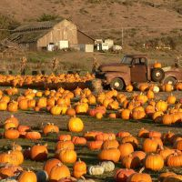 Pumpkin patch with old truck and barn